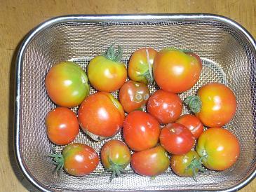 プチトマト20120818.JPG